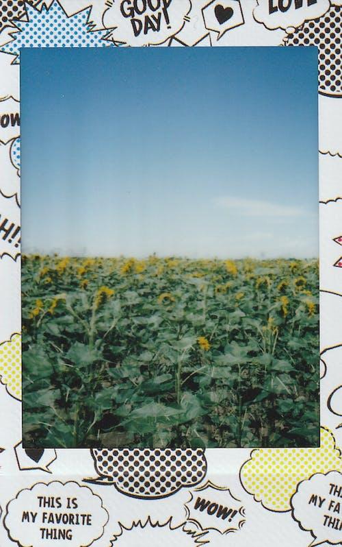 Ilmainen kuvapankkikuva tunnisteilla auringonkukka, auringonkukkaketo, elokuva-valokuvaus, elokuvan kuva