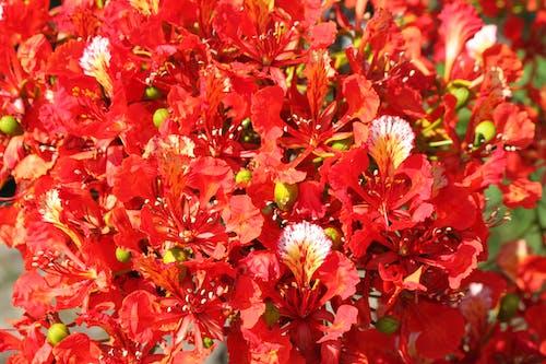 poinciana, 꽃의 무료 스톡 사진