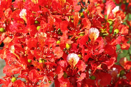 Gratis arkivbilde med blomst, poinciana