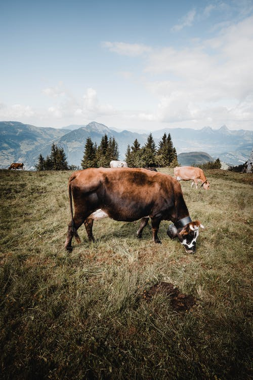 Brown Cow on Green Grass Field
