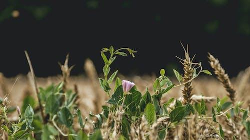 Darmowe zdjęcie z galerii z natura, pszenica, trawa pszeniczna