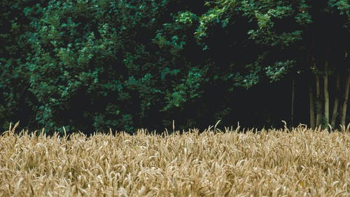 Darmowe zdjęcie z galerii z natura, pole pszenicy, pszenica