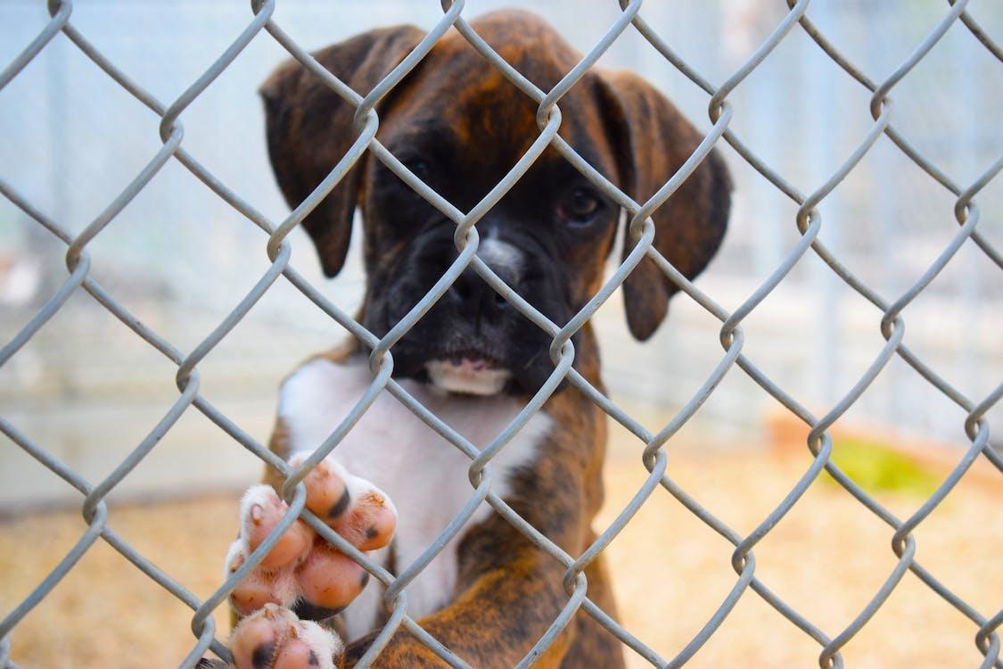 Free stock photo of boxer, boxer puppies, boxer puppy