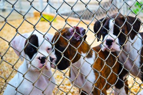 Free stock photo of boxer, boxer puppies, boxer puppy, dog