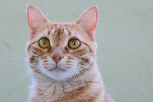 Orange Tabby Cat With White Background