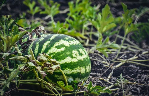 Watermelon ripening on lush green field