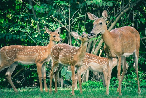 Herd of graceful mother deer with fawns