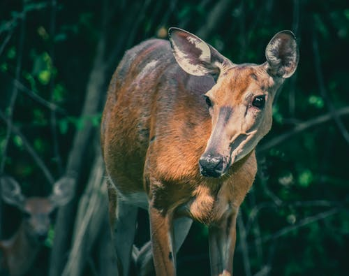 Wild young deer with big ears standing in green verdant forest and looking away