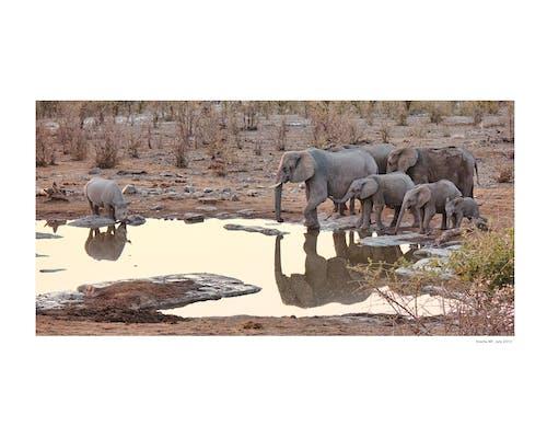 Free stock photo of africa, elephant family, elephats at water hole, etosha national park