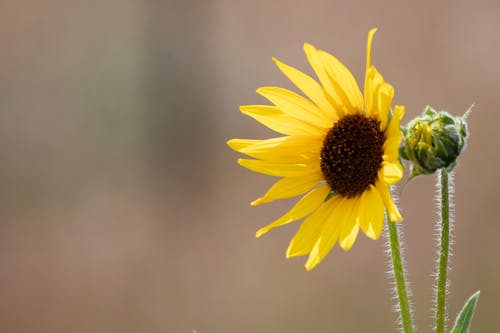 Free stock photo of arrow root, balsam arrow root, spring flower, sun flower