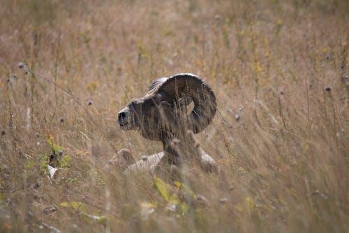 Free stock photo of Big Horn Sheep, male, male big horn sheep, Montana