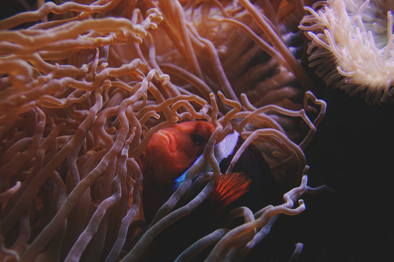 Clown Fish Swimming Beside Sea Anemone