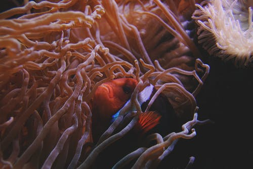 Clown Fish Swimming Beside Sea Anemone