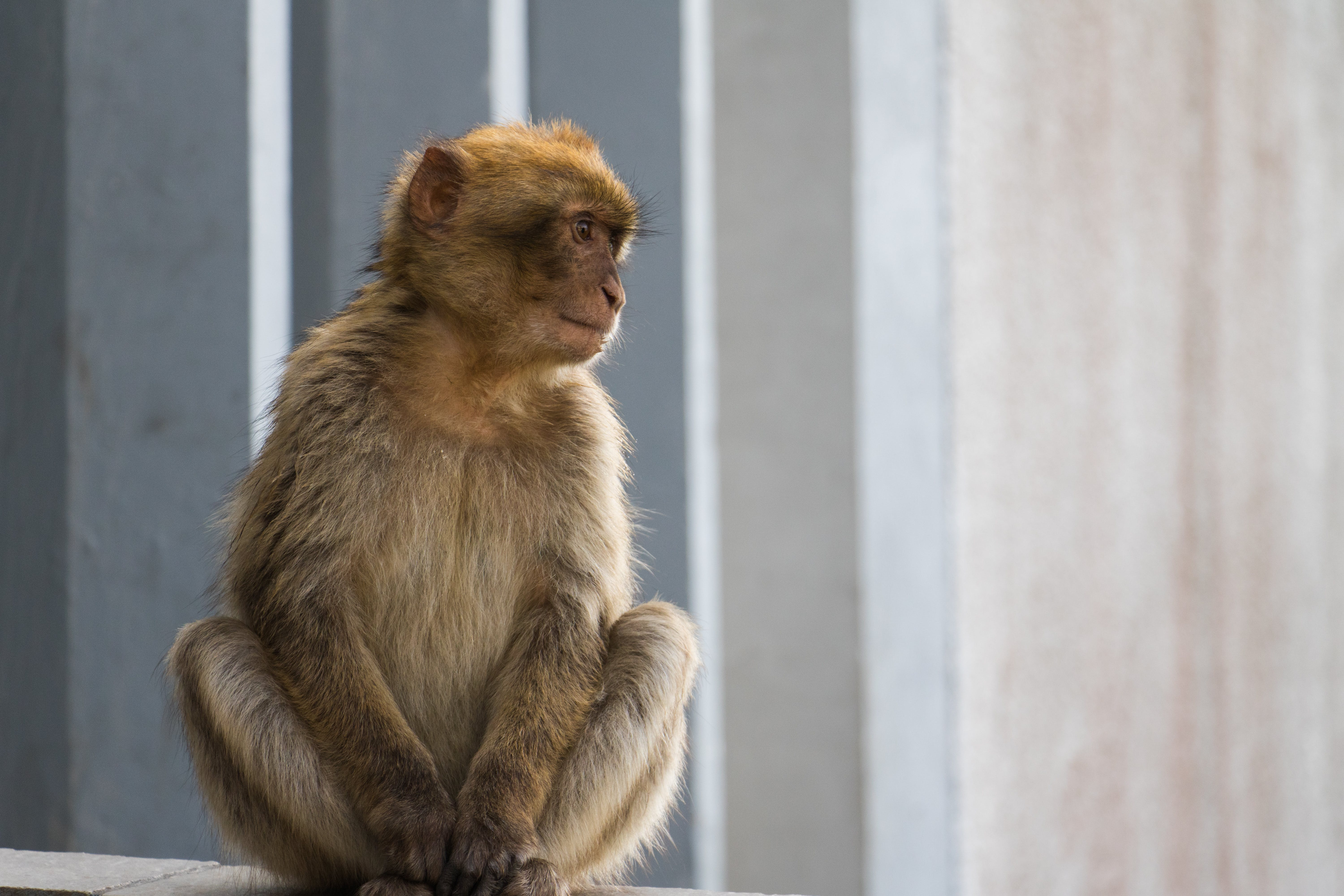 Free stock photo of barbary macaque, Gibraltar, monkey, sitting