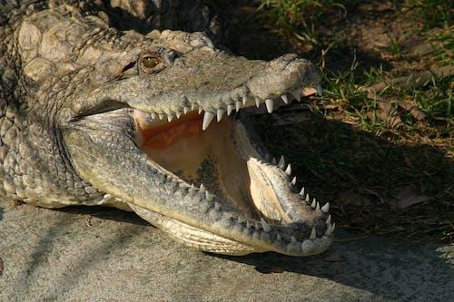 Kostnadsfri bild av alligator, djur, djurpark