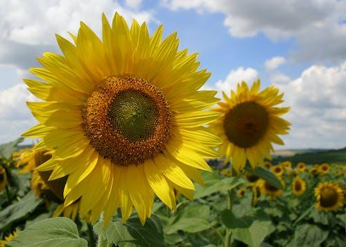 Kostnadsfri bild av blomma, solros, växt