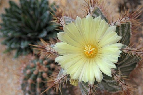 Kostnadsfri bild av kaktusblomma