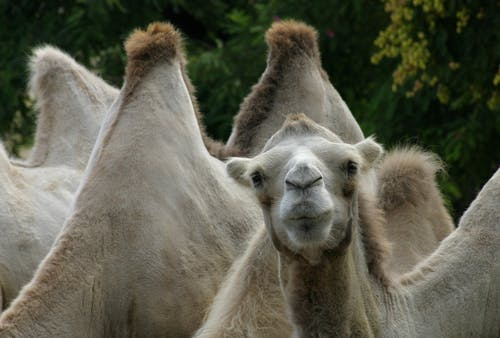 Kostnadsfri bild av djur, kamel