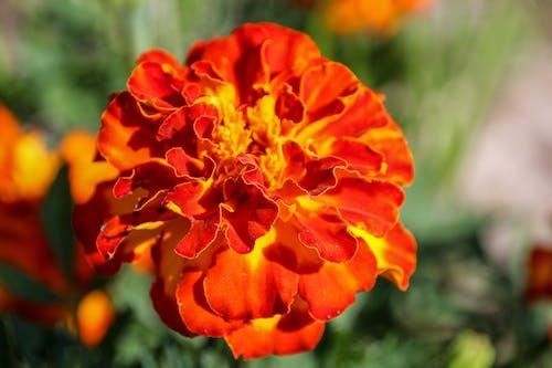Macro Photography of a Blooming Marigold