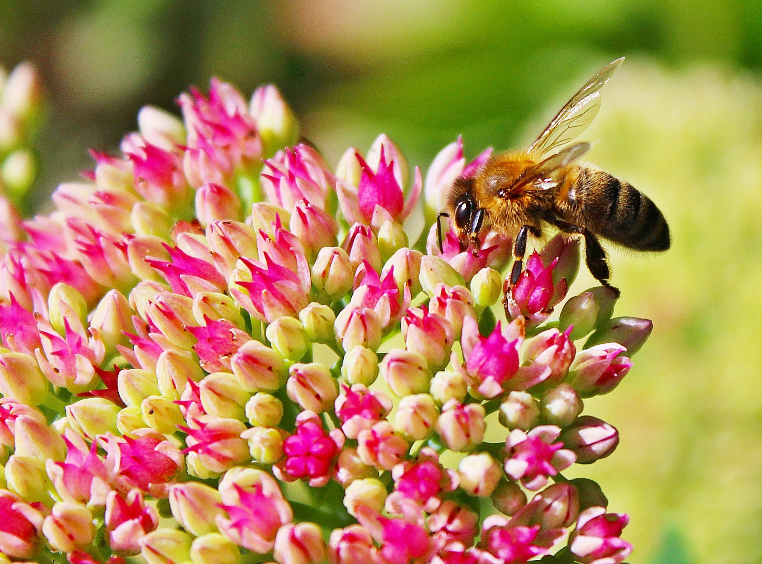 Shallow Focus Photo of Honey Bee on Flower