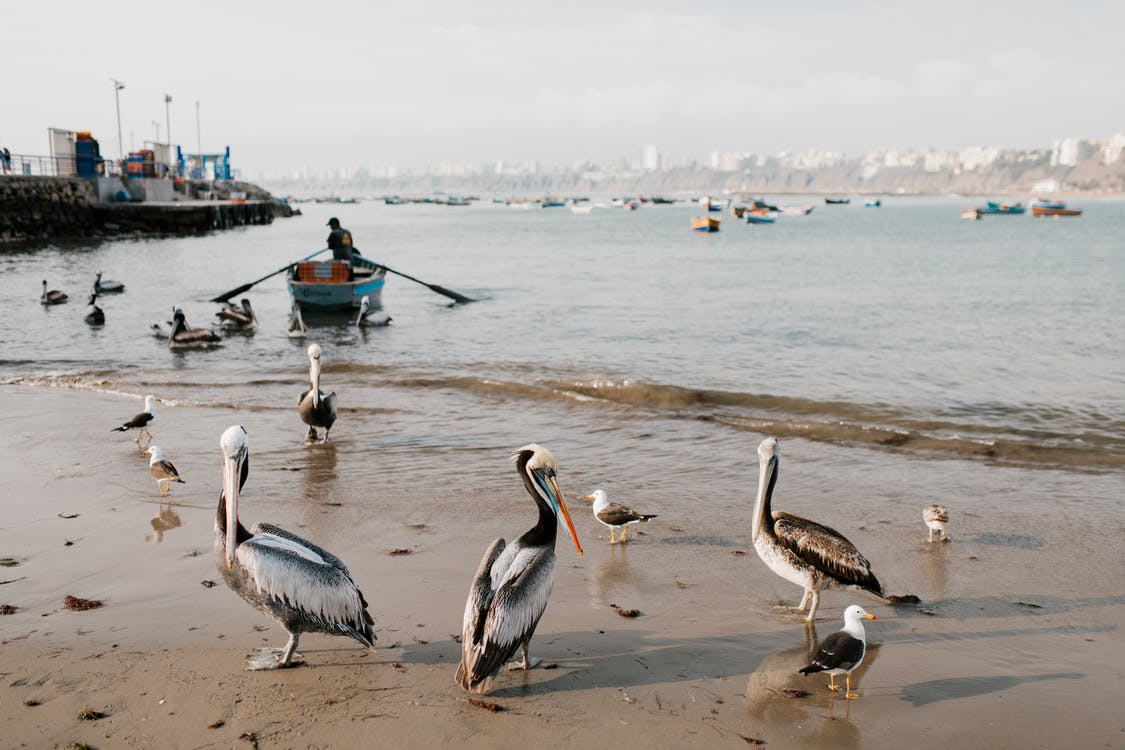 Wild pelicans and white seagulls walking along sandy coastline with old pier and fishing boats on cloudy day