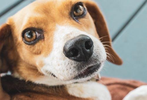 Free stock photo of beagle, dog