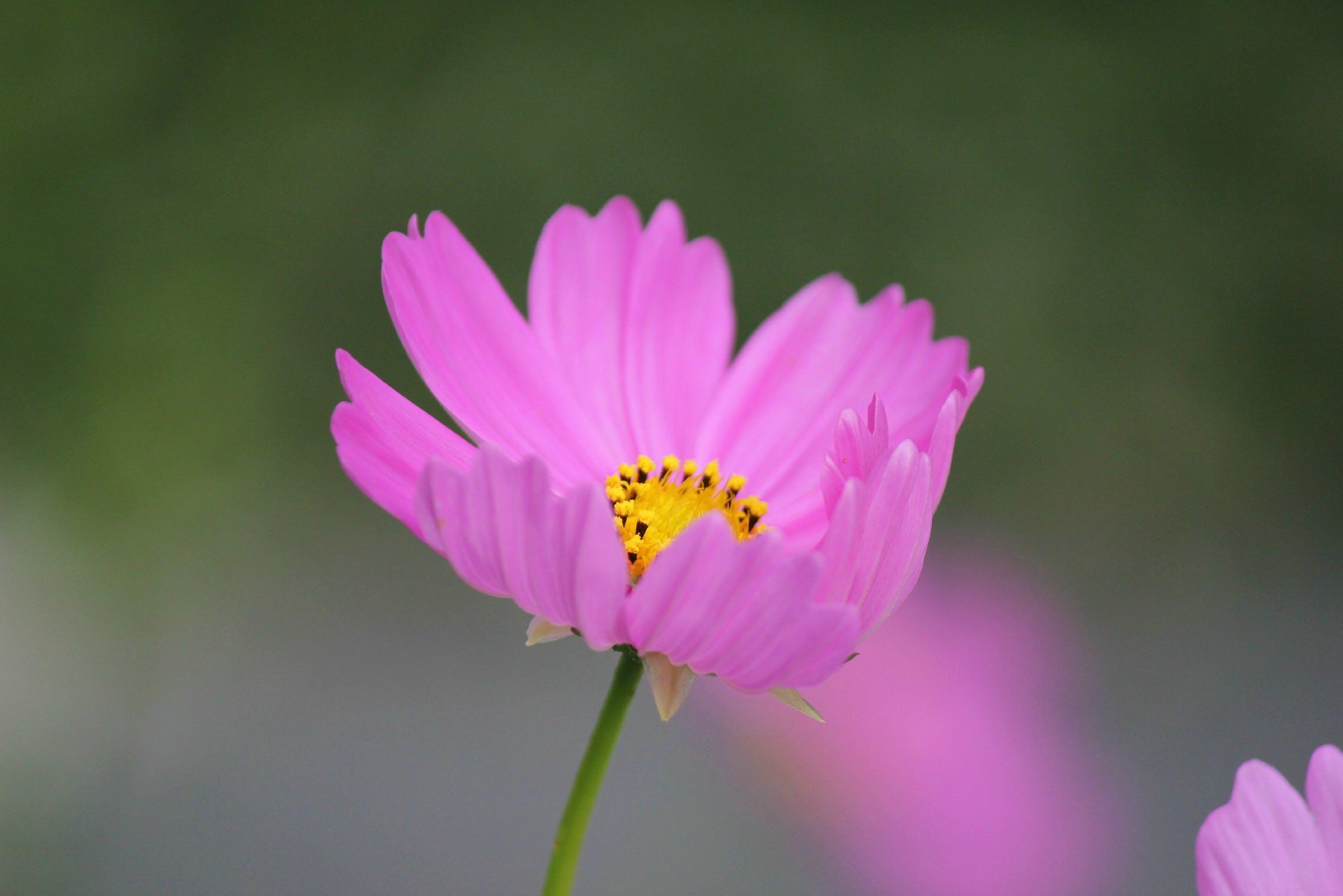 Безкоштовне стокове фото на тему «HD шпалери, завод, квітка, квітка космосу»