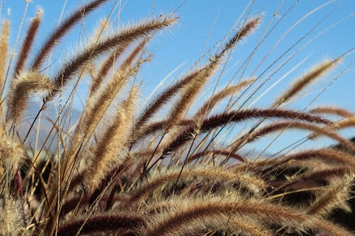 Free stock photo of wheat, wheat field, wheat grass