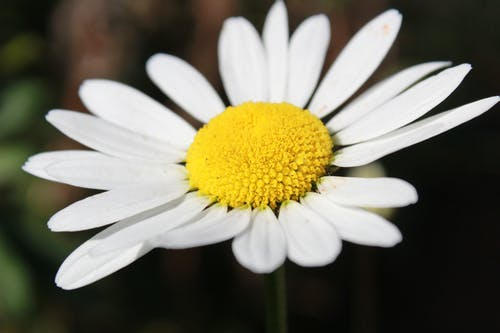 Free stock photo of white daisy