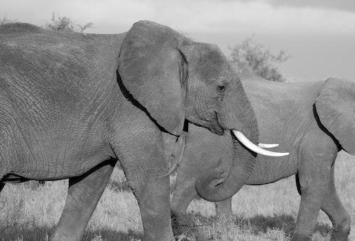 Grey Elephants Walking