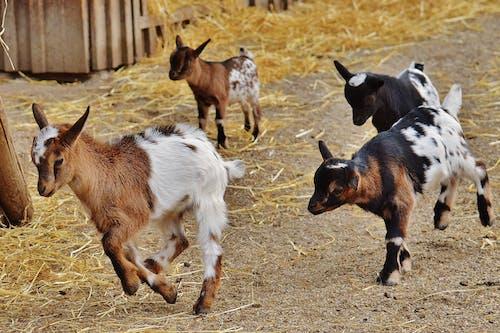 Photos gratuites de agriculture, animal, bébé, bétail