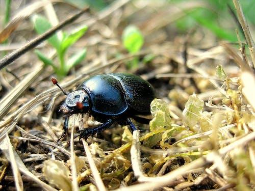 Foto stok gratis beetle, makro, merapatkan, serangga