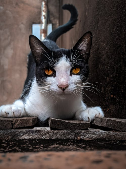 White and Black Cat on Wooden Surface