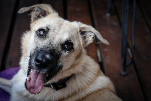 Photos gratuites de amitié, animal, animal de compagnie, berger allemand