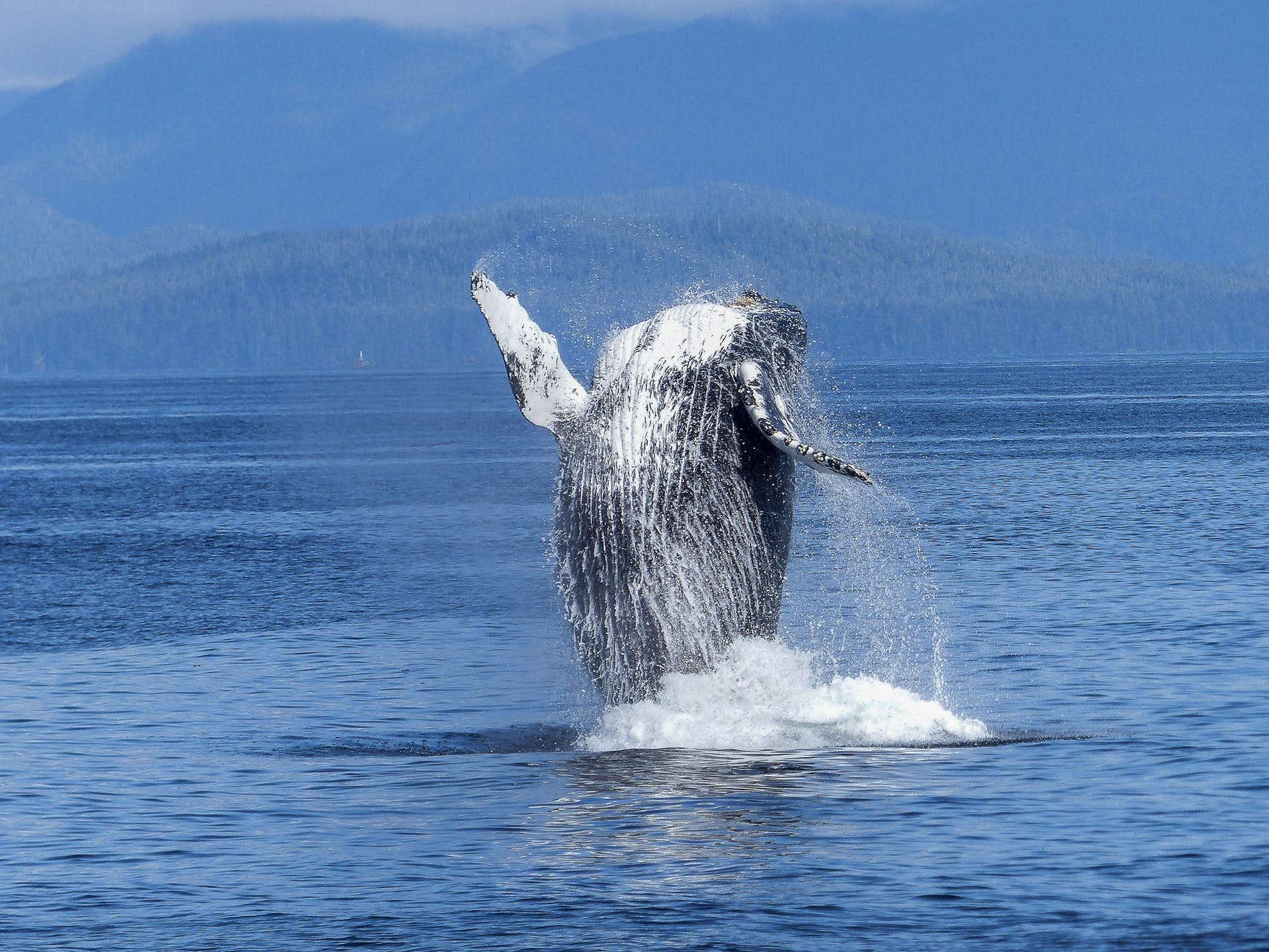 Photo of a humpback whale jumping from a body of water