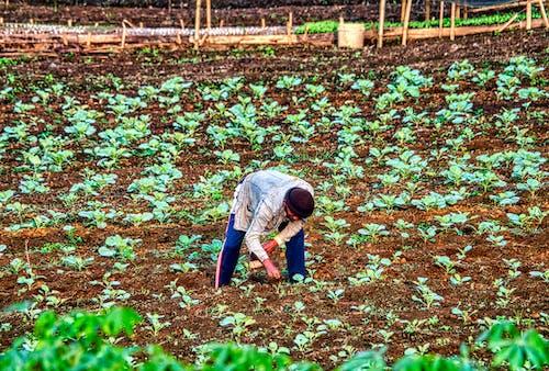 Fotos de stock gratuitas de agricultor, agricultura, campos de cultivo