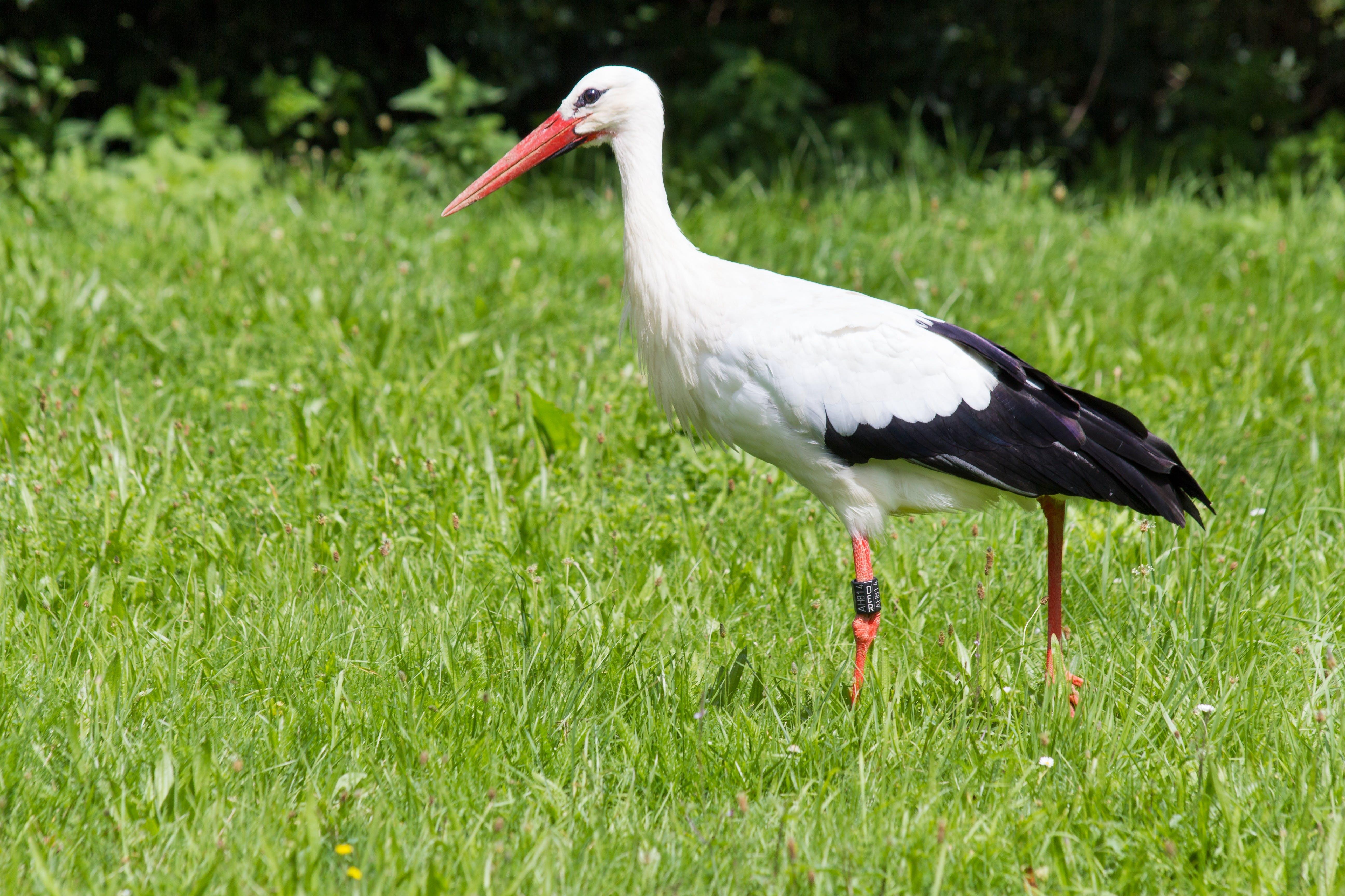 คลังภาพถ่ายฟรี ของ ciconia ciconia, ciconiidae, ขนนกสีขาว, ทุ่งหญ้า