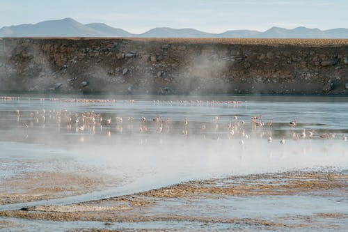 Flock of flamingos walking on steaming shallow lake