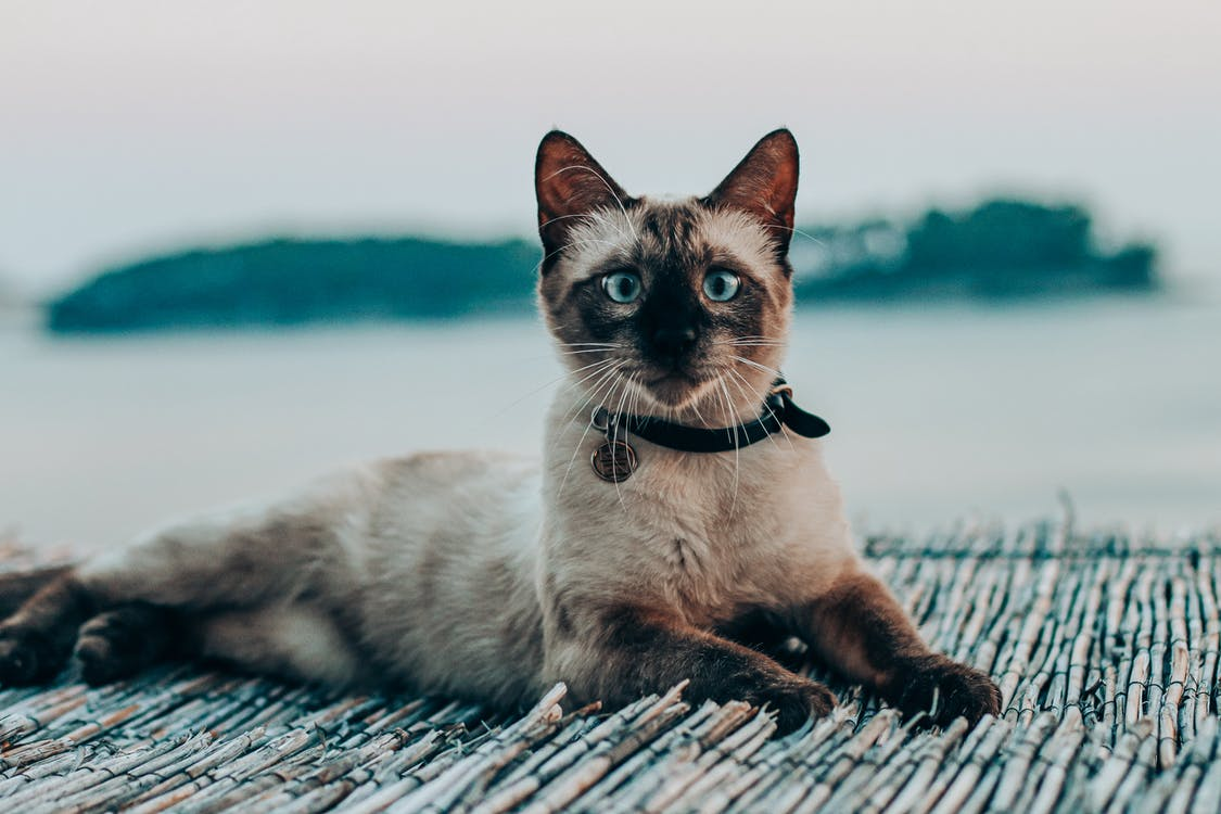 Attentive Siamese cat resting on boardwalk near sea
