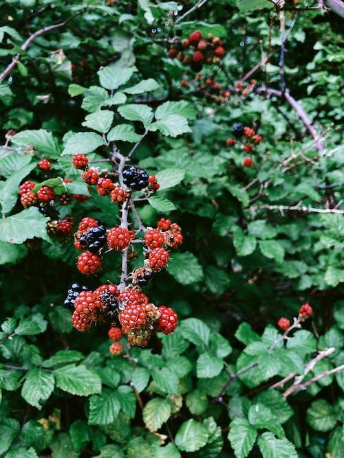 Бесплатное стоковое фото с blackberry, ботаника, вегетарианский, ветвь