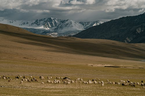 Herd of sheep pasturing on meadow