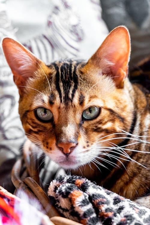 Základová fotografie zdarma na téma bengálská kočka, bengálsko, dieren