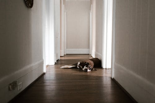 Brown and White Short Coated Dog Lying on Brown Wooden Floor