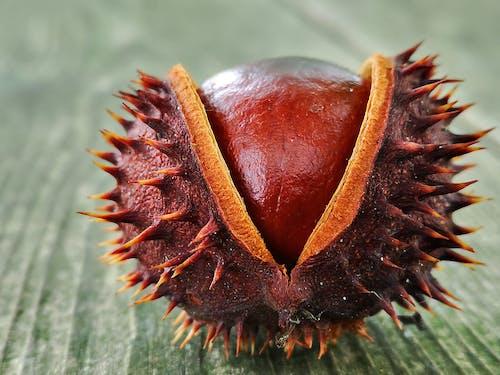 Free stock photo of chestnut, chestnut tree, nature