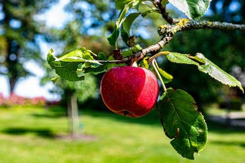 Free stock photo of apple, apple fruit, apple tree