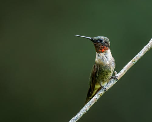 Small ruby throated hummingbird with long beak and white feathers with red and brown spots sitting on thick leafless sprig in nature in daylight