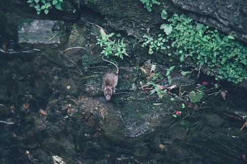 水, 滑鼠, 老鼠 的 免费素材图片