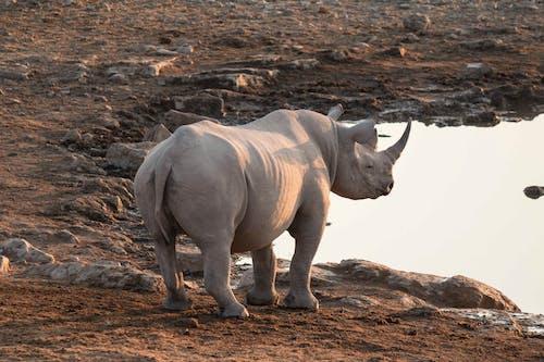 Gray Rhinoceros on Brown Ground
