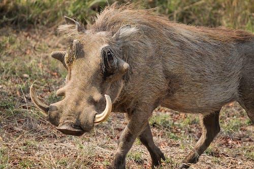 Brown Rhinoceros on Brown Grass