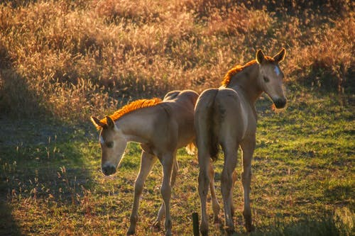 Free stock photo of colt, Montana horses, young foals